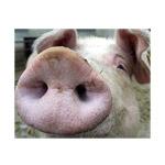 Производство свиней на убой в России увеличилось почти на 11%