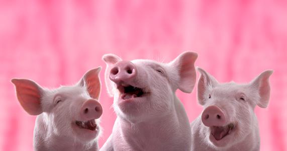 В Крыму расширили карантинную зону по африканской чуме свиней