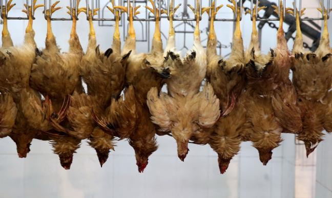 На Юге России возникла угроза эпидемии птичьего гриппа