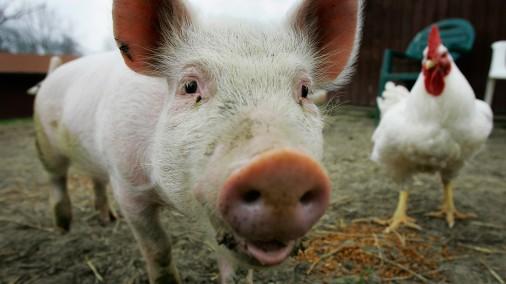 Минсельхоз раскрыл потери России от африканской чумы свиней