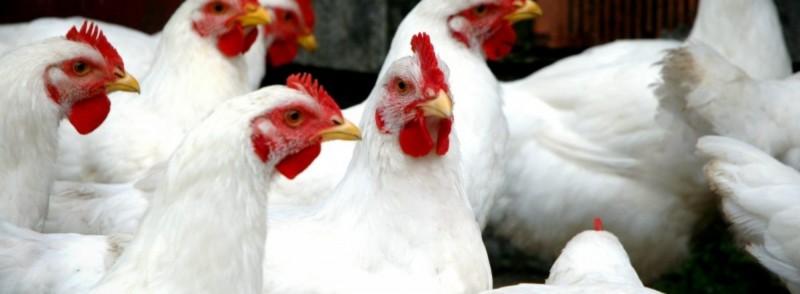 В Ростовской области на птицефабриках усилят ветконтроль