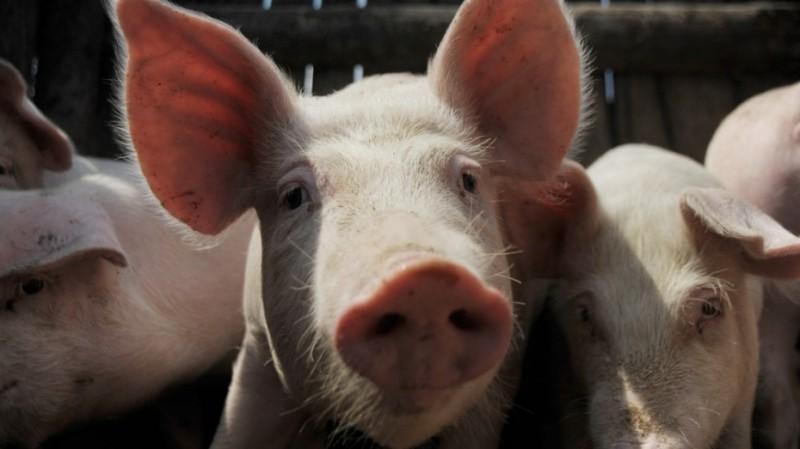 При поддержке Россельхозбанка запущен новый свинокомплекс в Воронежской области