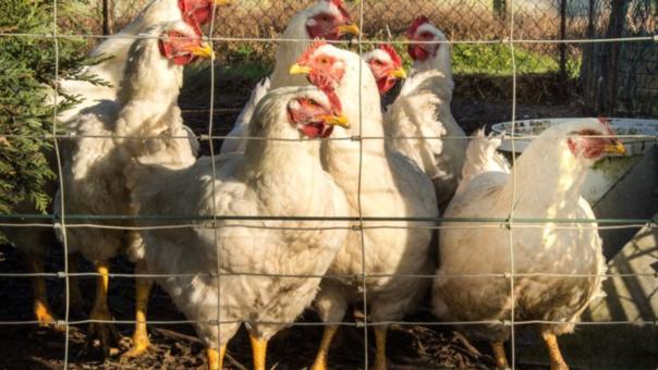 Россельхознадзор ввёл ряд ограничений на экспорт продукции в ЕС из-за птичьего гриппа