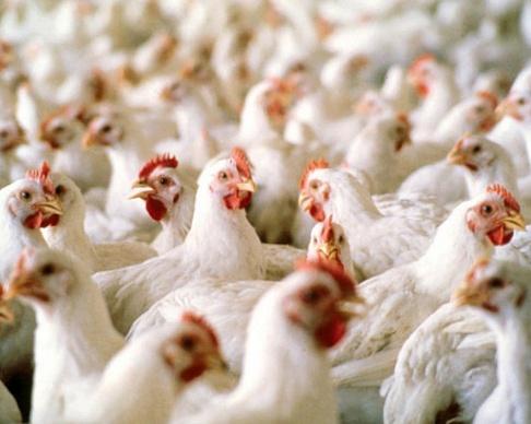 В Ростовской области снят карантин по птичьему гриппу