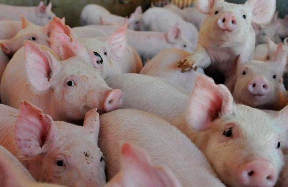 Ставропольская свиноферма увеличит поставки мяса благодаря поручительству