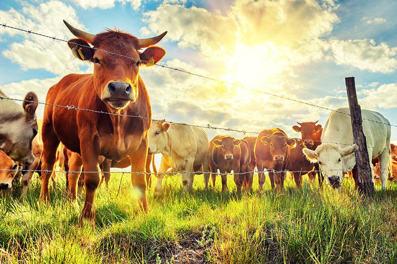 Скота в Крыму стало меньше