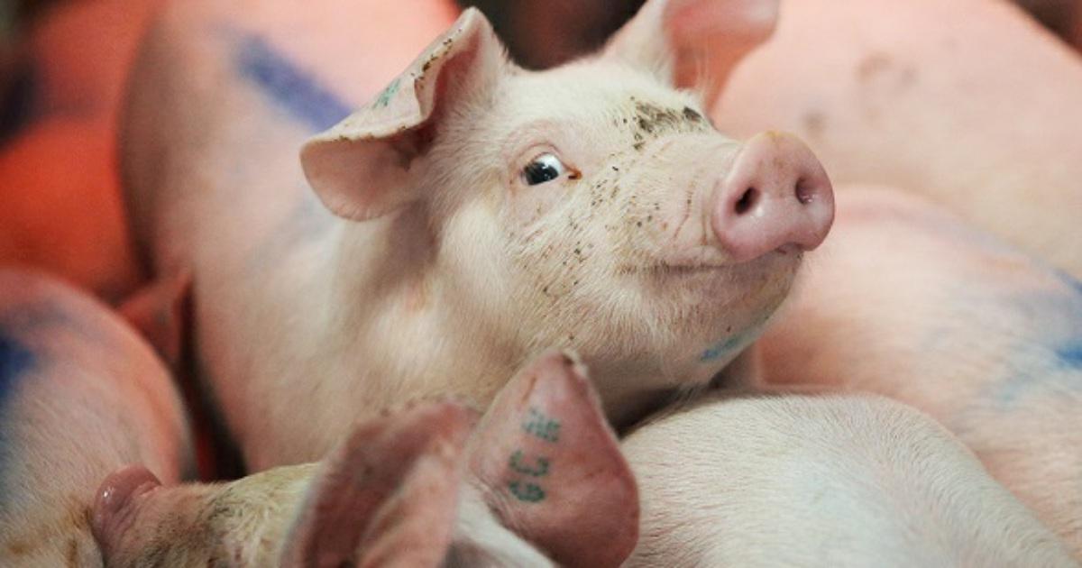 В Краснодаре пройдут слушания по законопроекту «О развитии животноводства»