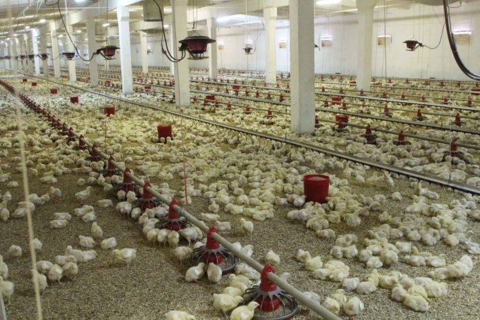 Эксперты из Европы проверят марийскую курятину