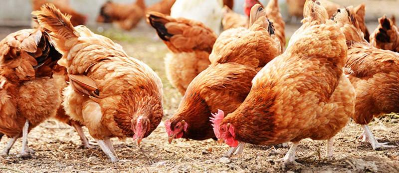 Новости птицеводства: тенденции в мировой птицеводческой отрасли