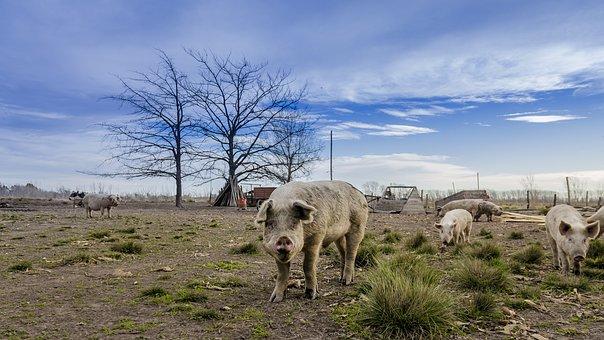 В Польше сокращается производство свиней