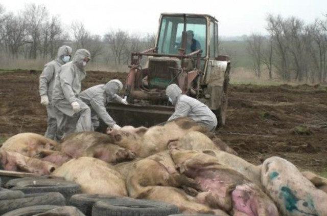 Вспышка африканской чумы свиней зафиксирована в Ставропольском крае