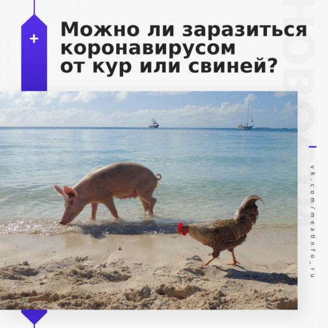 Можно ли заразиться коронавирусом Covid-19 от кур или свиней?