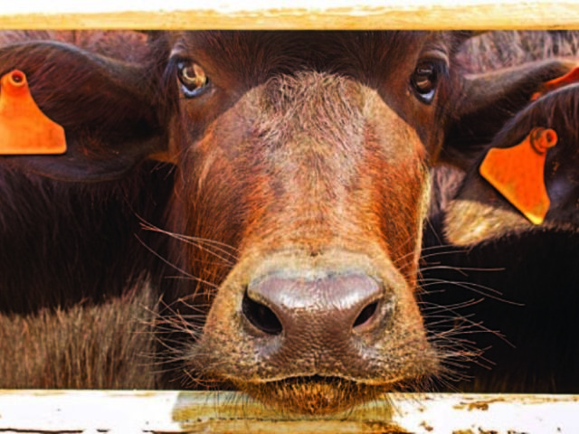 В Чеченской Республике увеличилась численность крупного рогатого скота