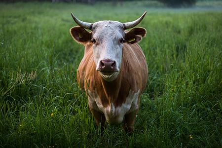 Кубанское животноводство: новая точка отсчета