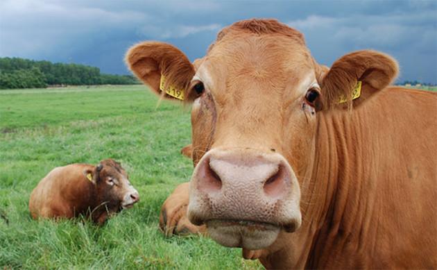 В Северной Осетии отмечен рост поголовья скота
