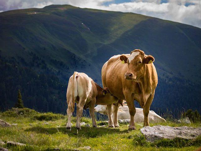 В Ростовской области выявили очаги бруцеллеза крупного рогатого скота