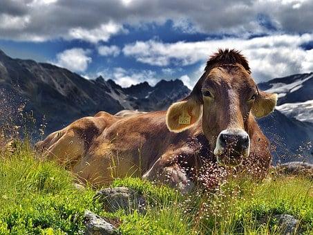 Исследователи предлагают изменить подход к лечению молочных коров
