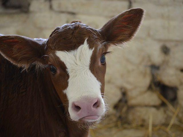 Первый клонированный теленок в России открыл дорогу к генно-модифицированному скоту