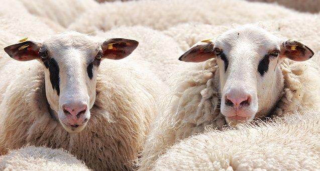 Ингушские животноводы наращивают поголовье крупнорогатого скота, овец и коз
