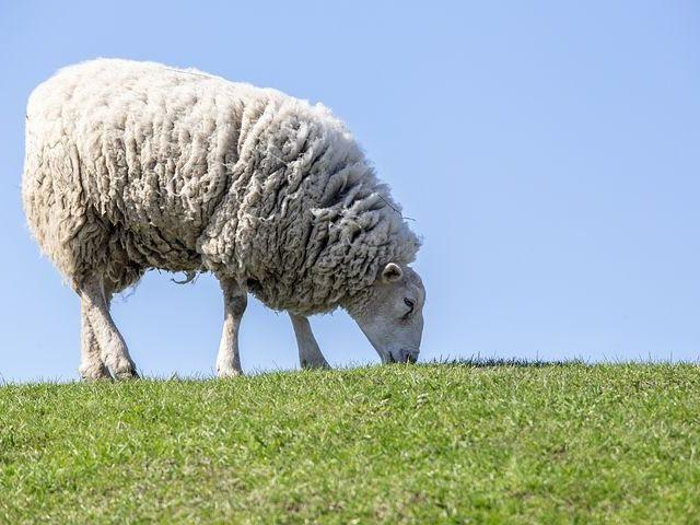 Эксперимент «Дамате» по искусственному осеменению овец показал: разница ягнят в весе достигает 35%
